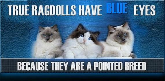 570_Blue_Eyed_Pointed_Ragdolls